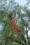 Árbol de pimienta fotos de archivo libres de regalías
