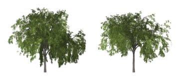 Árbol de pimienta o árbol de pimienta de California aislado en el fondo blanco con la trayectoria de recortes fotografía de archivo
