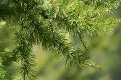 Árbol de pino 1 Imagen de archivo libre de regalías