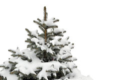 Árbol de pino Fotografía de archivo libre de regalías
