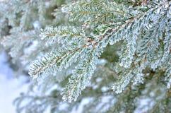 Árbol de pino imagen de archivo libre de regalías