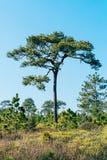 Árbol de pino Fotografía de archivo