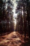 Árbol de pino Imagen de archivo