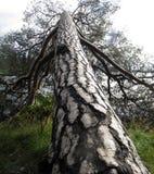 Árbol de pino Fotos de archivo