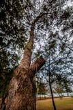 Árbol de pino Imágenes de archivo libres de regalías
