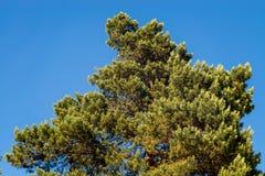 Árbol de pino Foto de archivo libre de regalías