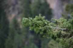Árbol de pino, agujas del pino, verde del pino, hoja del pino Fotografía de archivo