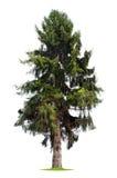Árbol de pino aislado Fotos de archivo libres de regalías
