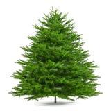 Árbol de pino aislado. Abies firma Imagen de archivo