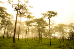 Árbol de pino alto en verano Imágenes de archivo libres de regalías