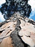 Árbol de pino alto vertical en Roma Fotografía de archivo