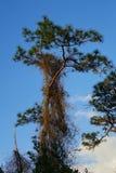 Árbol de pino alto y la vid parásita Imágenes de archivo libres de regalías