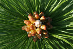 Árbol de pino austríaco de florecimiento Fotos de archivo