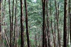 Árbol de pino australiano imagenes de archivo