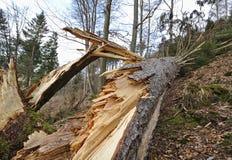 Árbol de pino caido con el tronco astillado en una ladera enselvada foto de archivo