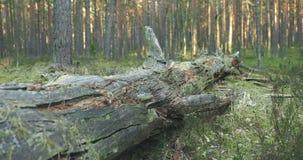 Árbol de pino caido viejo en el bosque almacen de metraje de vídeo