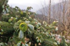 Árbol de pinocercano del upFotos de archivo libres de regalías