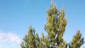Árbol de pino con el espacio de la copia