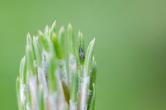 Árbol de pino con el insecto Fotos de archivo libres de regalías