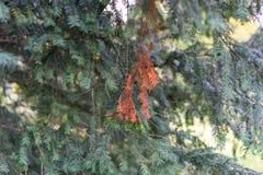 Árbol de pino con la hoja verde y roja en otoño Imagen de archivo