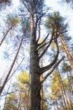 Árbol de pino con las ramas torcidas en fondo del cielo azul foto de archivo