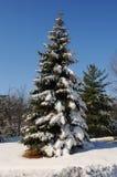 Árbol de pino con nieve Fotos de archivo libres de regalías