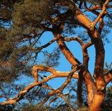 Árbol de pino con nieve al día de invierno soleado Fotografía de archivo libre de regalías