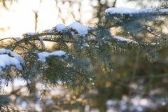 Árbol de pino con nieve de fusión en ella Imagen de archivo libre de regalías