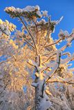 Árbol de pino con nieve en puesta del sol Imágenes de archivo libres de regalías