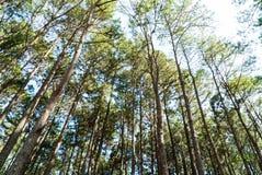 Árbol de pino con sol y sombra Imagenes de archivo
