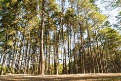 Árbol de pino con sol y sombra Fotografía de archivo libre de regalías