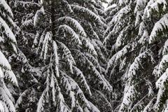Árbol de pino congelado Imagen de archivo
