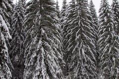 Árbol de pino congelado Fotos de archivo libres de regalías