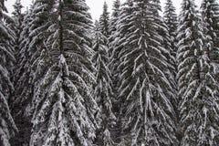 Árbol de pino congelado Imágenes de archivo libres de regalías