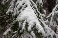 Árbol de pino congelado Foto de archivo