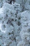 Árbol de pino congelado Fotos de archivo