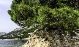 Árbol de pino croata con el mar adriático en el fondo - Brela, Makarska Riviera, Dalmacia, Croacia Imagen de archivo libre de regalías
