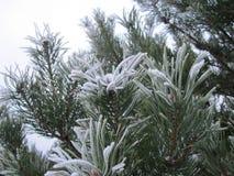 Árbol de pino cubierto con escarcha Fotografía de archivo