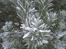 Árbol de pino cubierto con escarcha Imágenes de archivo libres de regalías