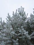 Árbol de pino cubierto con escarcha Imagenes de archivo