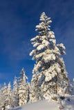 Árbol de pino cubierto con nieve Fotografía de archivo libre de regalías