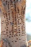 Árbol de pino dañado por la pulsación de corriente imagen de archivo libre de regalías