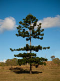 Árbol de pino de Bunya Imagen de archivo libre de regalías