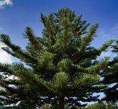Árbol de pino de douglas Imagenes de archivo