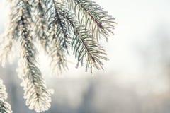 Árbol de pino de la rama en nieve Imagenes de archivo