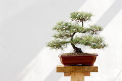 Árbol de pino de los bonsais Fotos de archivo
