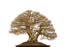 Árbol de pino de los bonsais Imagenes de archivo