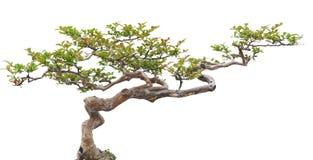 Árbol de pino de los bonsais Fotos de archivo libres de regalías