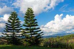 Árbol de pino de los pares Imágenes de archivo libres de regalías
