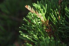 Árbol de pino de Taiwán Fotos de archivo